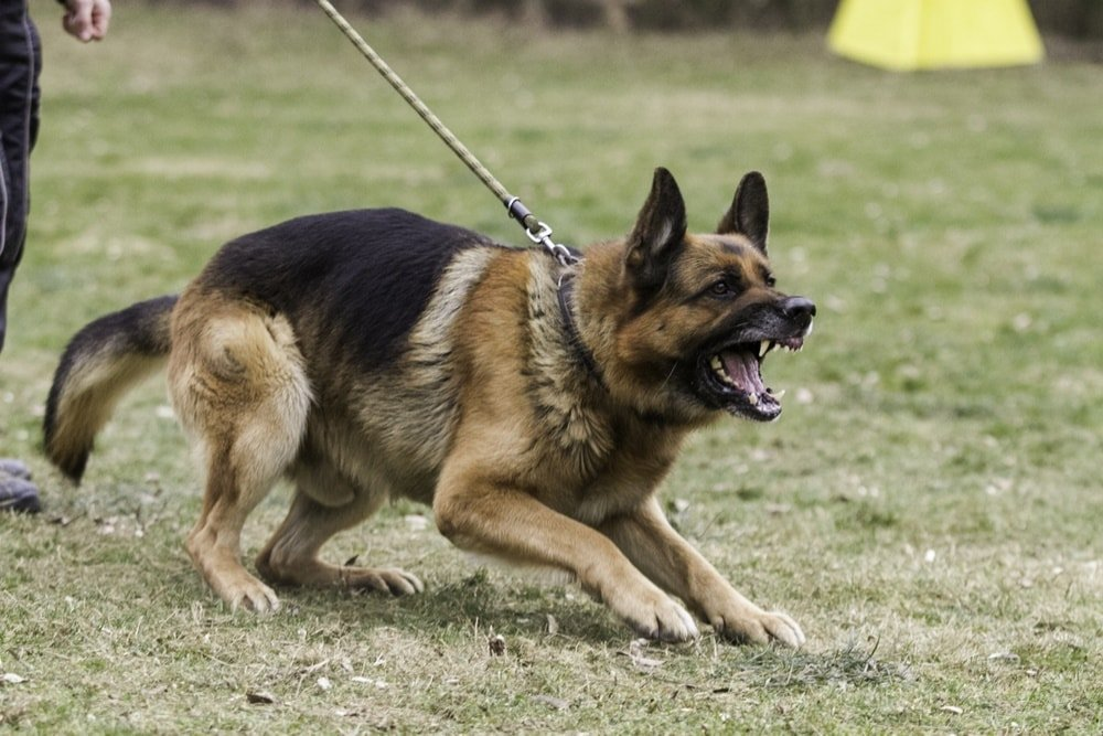 Aggressive German shepherd on training.
