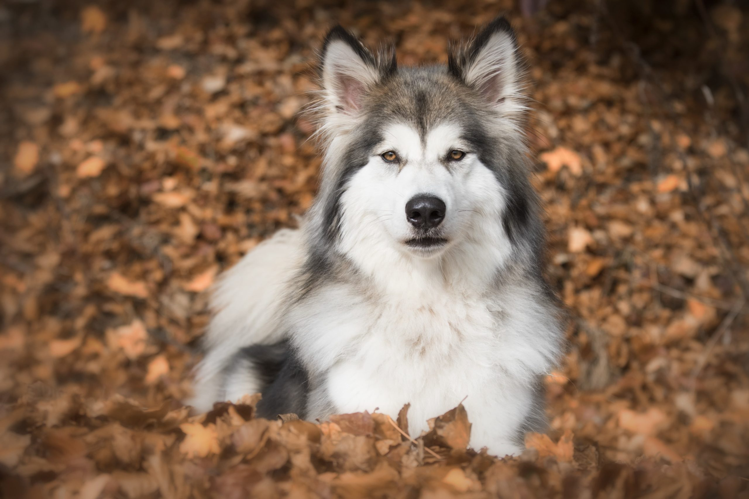 Wolf hybrid sitting at the ground.